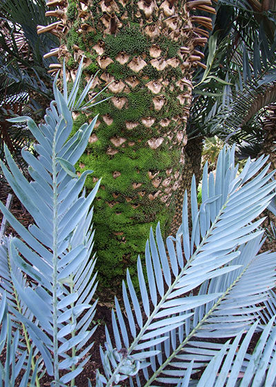 BotSoc Launches 'Learning About Cycads'