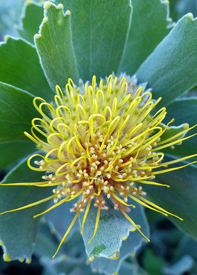 Perfect Pincushions: Introducing the genus Leucospermum