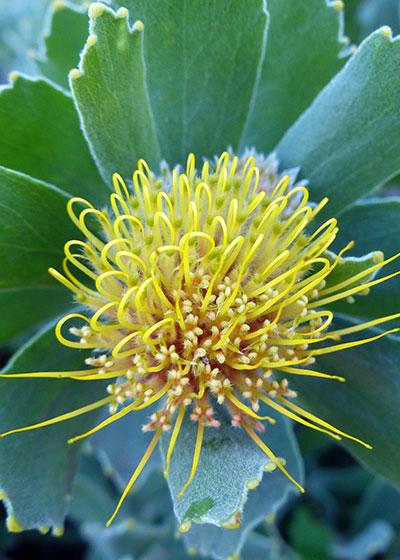 Perfect Pincushions: Introducing the genus Leucospermum
