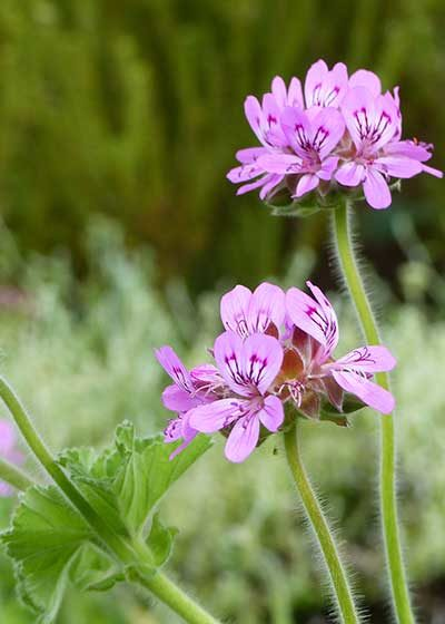 Spotlight on Pelargoniums: Stalwarts of the Waterwise Garden