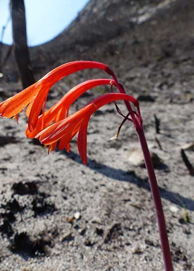 After the fire: Bettys Bay fynbos five months on