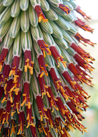 Five reasons to welcome an Aloe into your garden