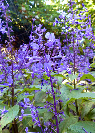 Spectacular Spurflowers: Beautiful blooms for the shaded indigenous garden
