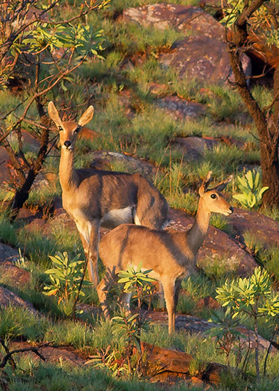 Resident Mammals of Walter Sisulu National Botanical Garden