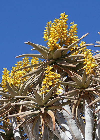 Where to Enjoy Aloes in South Africa