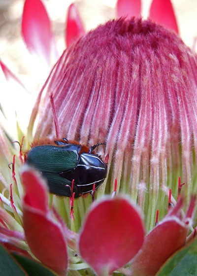 How to grow Proteas in your outdoor space